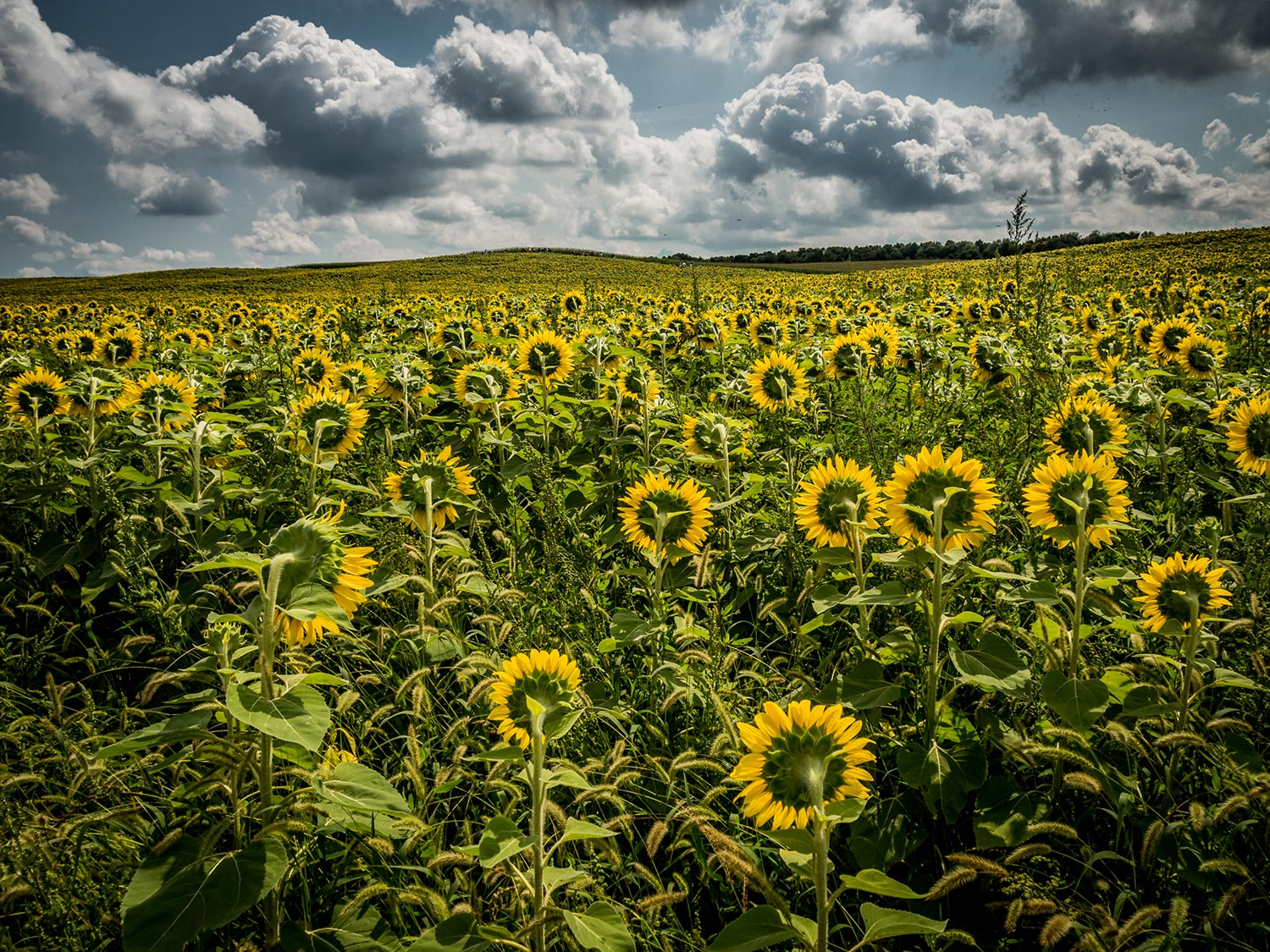 Image of sunflower field